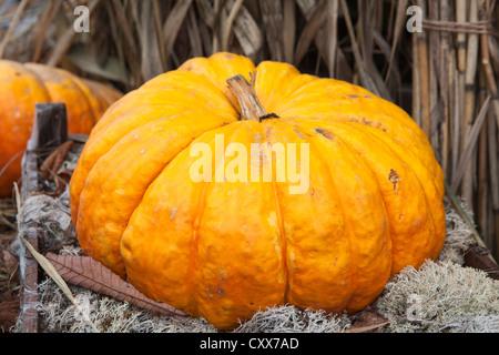 Big orange ripe pumpkin laying in hay. Close up - Stock Photo