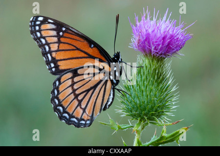 Viceroy Butterfly Limenitis archippus gathering nectar pollinating Bull Thistle Cirsium vulgare E USA - Stock Photo