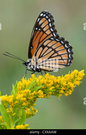 Viceroy Butterfly (Limenitis archippus) on Goldenrod (Solidago sps), late Summer, early Fall, E USA, by Skip Moody/Dembinsky - Stock Photo