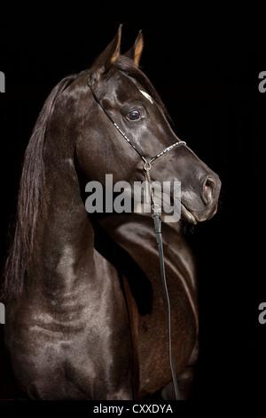 Thoroughbred Arabian horse, black stallion, portrait with show bridle - Stock Photo