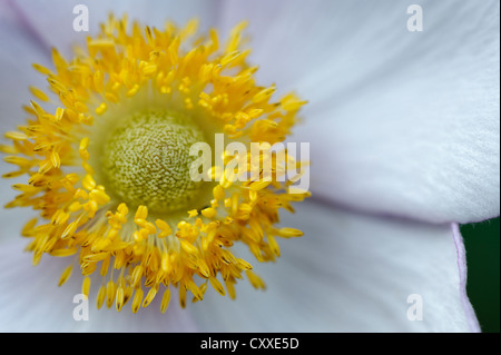 Flower of the Chinese or Japanese anemone (Anemone hupehensis) - Stock Photo