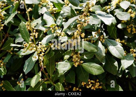 Flowering bay laurel (Laurus nobilis), Mount Tabor, Galilee, Israel, Middle East - Stock Photo