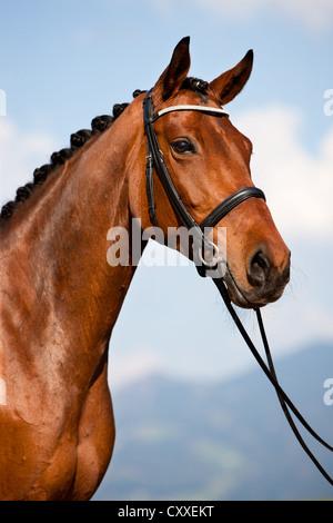 Austrian Warmblood, bay, portrait wearing a bridle, dressage, braided, North Tyrol, Austria, Europe - Stock Photo
