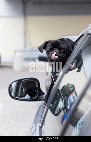 Young black pug looking out of a car window and licking his nose - Stock Photo