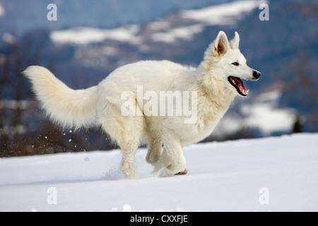 White Shepherd dog running on snow, North Tyrol, Austria, Europe - Stock Photo