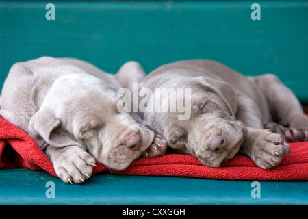 Weimaraner dogs, puppies, sleeping on a bench, North Tyrol, Austria, Europe - Stock Photo