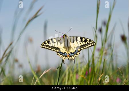 Old world swallowtail (Papilio machaon), Badberg nature reserve, Kaiserstuhl mountain range, Baden-Wuerttemberg - Stock Photo