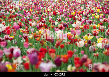 Colorful tulip field, Dreisamtal valley, Black Forest mountain range, Baden-Wuerttemberg - Stock Photo