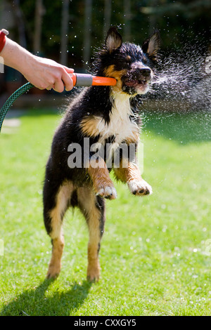 Australian Shepherd puppy, tricolour, biting at the water from a hose, North Tyrol, Austria, Europe - Stock Photo