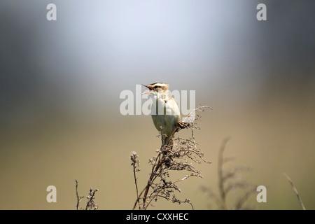 Sedge Warbler (Acrocephalus schoenobaenus), singing, Burgenland, Austria, Europe - Stock Photo