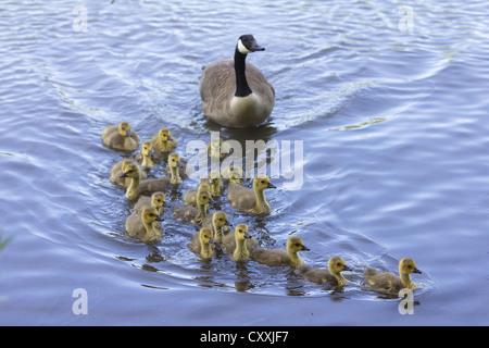 Canada goose (Branta canadensis) with goslings, Seilersee, Iserlohn, North Rhine-Westphalia - Stock Photo