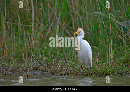 Cattle Egret (Bubulcus ibis), Camargue, France, Europe - Stock Photo