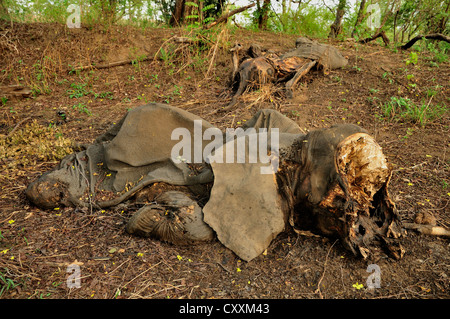 One of the elephants killed by Sudanese poachers on 5 March 2012, Bouba-Ndjida National Park, Cameroon, Central - Stock Photo
