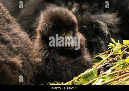 Baby Mountain Gorilla (Gorilla beringei beringei) from the Hirwa group at the foot of the Gahinga Volcano - Stock Photo