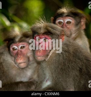 Group Of Timid Rhesus Macaques In Periyar, India - Stock Photo