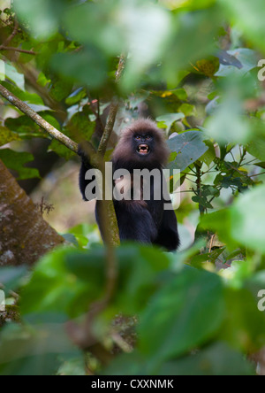 Monkey In The Trees Showing Its Teeth, Periyar, India - Stock Photo