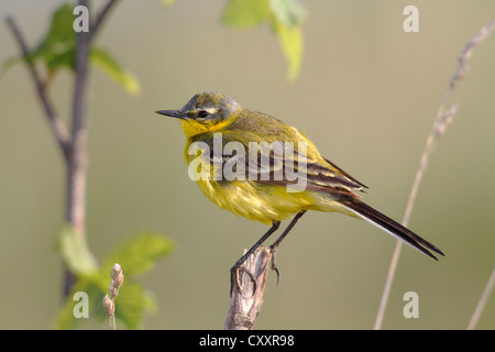 Yellow wagtail (Motacilla flava), male singing, perched on its song post, Lake Neusiedl, Burgenland, Austria, Europe - Stock Photo