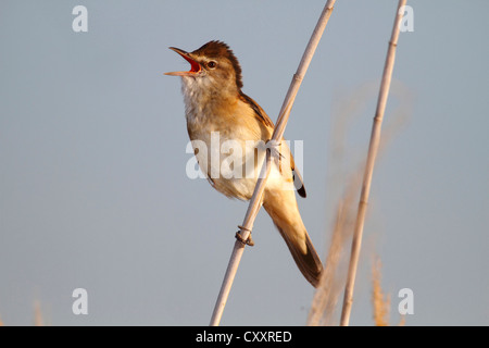 Great reed warbler (Acrocephalus arundinaceus), calling, male perched on reed, Lake Neusiedl, Burgenland, Austria, - Stock Photo