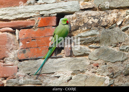 Rose-ringed Parakeet or Ring-necked Parakeet (Psittacula krameri) perched on a stone wall in the palace park - Stock Photo