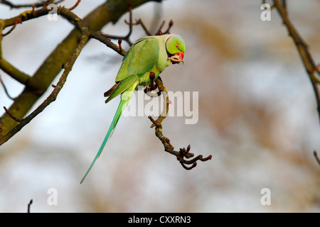 Rose-ringed Parakeet or Ring-necked Parakeet (Psittacula krameri) perched on a branch in the palace park, Schlosspark - Stock Photo