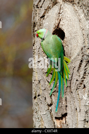 Rose-ringed Parakeet or Ring-necked Parakeet (Psittacula krameri) perched outside its tree hole in the palace park - Stock Photo