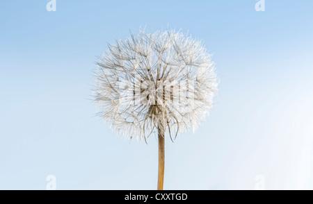 Dandelion, withered dandelion, blowball, dandelion clock (Taraxacum), with diaspores, seeds - Stock Photo