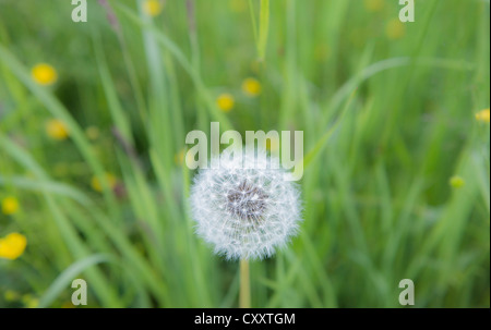 Dandelion, withered dandelion, blowball, dandelion clock (Taraxacum), with diaspores, seeds, on a green lawn - Stock Photo