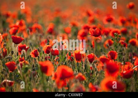 Flowering poppy field (Papaver sp.), Palatinate, Rhineland-Palatinate - Stock Photo