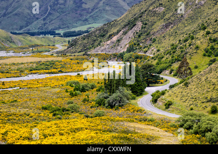 Country road winding through a valley with yellow flowers, driving on the left, Arthur's Pass Road, South Island, - Stock Photo
