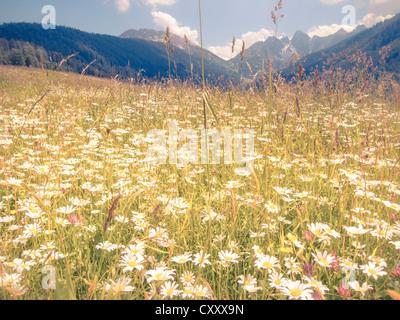 Daisies (Leucanthemum vulgare), flower meadow, blue summer sky, soft look effect, Kalkkoegel range near Innsbruck, - Stock Photo