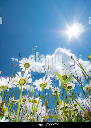 Daisies (Leucanthemum vulgare) from below, flower meadow, worm's eye view, blue summer sky with sun and rays - Stock Photo