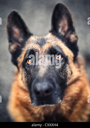 portrait of adult german sheppard selective focus image - Stock Photo
