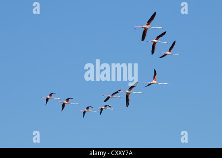 Greater flamingos (Phoenicopterus roseus), in flight, flock of birds, Camargue, France, Europe - Stock Photo