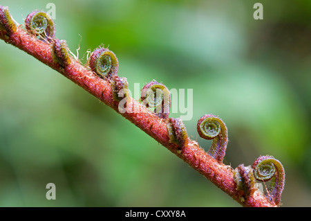 Fern frond unfurling, Tandayapa region, Andean cloud forest, Ecuador, South America - Stock Photo