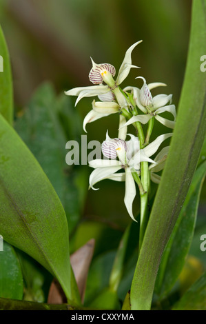 Tropical Clamshell Orchid (Epidendrum cochleatum) with shell-shaped lip, in habitat, Tiputini rainforest, Yasuni - Stock Photo