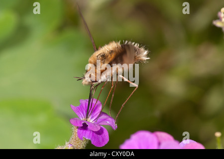 Large bee fly (Bombylius major) sucking nectar from an aubrieta (Aubrieta) Untergroeningen, Baden-Wuerttemberg - Stock Photo