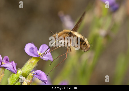 Large bee fly (Bombylius major) sucking nectar from an aubrieta (Aubrieta) Untergroeningen, Baden-Wuerttemberg - Stock Photo