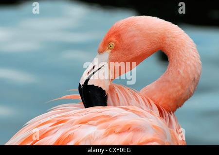 Cuba Flamingo (Phoenicopterus ruber), preening, Hanseatic City of Hamburg - Stock Photo