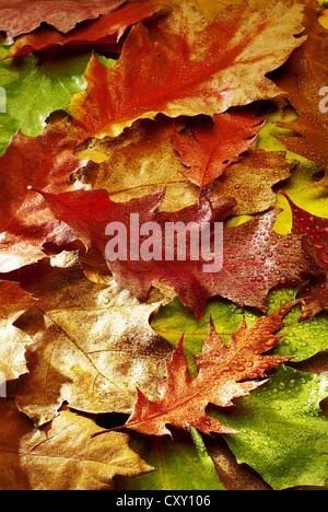 Autumn leaves, autumn-coloured Maple leaves (Acer sp.) - Stock Photo