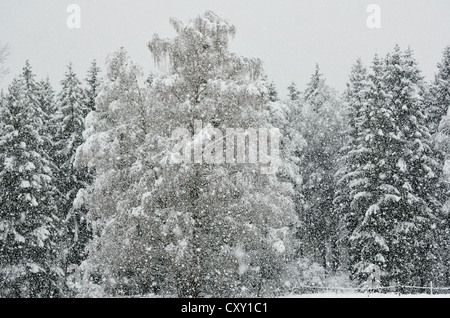 Heavy snowfall in a spruce mixed forest, branches of a birch tree bent by the snow load, near Raubling, alpine upland, - Stock Photo