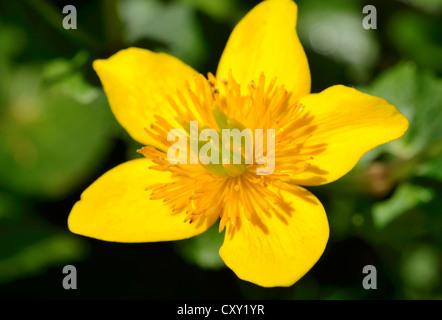 Yellow flower of the Marsh Marigold (Caltha palustris) - Stock Photo