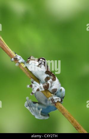 Amazon Milk Frog (Phrynohyas resinifictrix) climbing a branch - Stock Photo