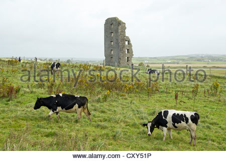 cows in front of ruins, Lahinch, Co. Clare, Ireland - Stock Photo