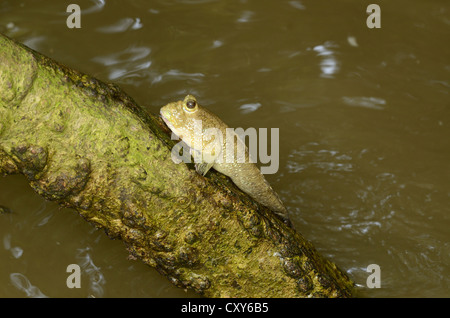 beautiful Mudskipper fish (Boleophthalmus boddarti) climbing on tree branch - Stock Photo