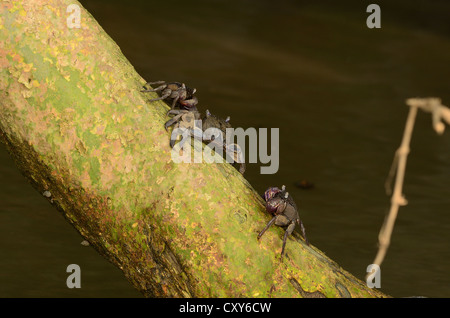 beautiful Meder's Mangrove crabs (Sesarma mederi) climbing on tree to escape from water - Stock Photo