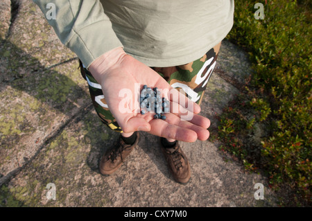 Man in shorts holds a handful of wild-collected blueberries, Acadia National Park, Maine, USA. - Stock Photo