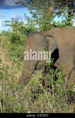 Wild Asian elephant feeding on vegetation inside Uda Walawe National Park in Sri Lanka. - Stock Photo