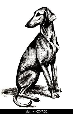 dog, sight hound, sihthound, hound, azawakh, sloughi, dog portrait, pedigree dog, ancient breed - Stock Photo