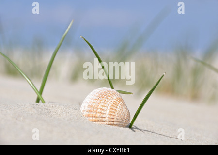 Shell in the dune grass, beach on the North Sea, St. Peter-Ording, Schleswig-Holstein - Stock Photo
