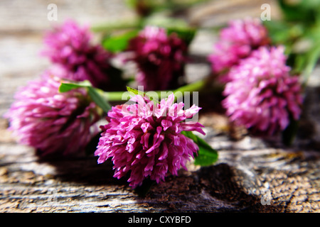Flowers of red clover (Trifolium pratense) on a wooden surface - Stock Photo